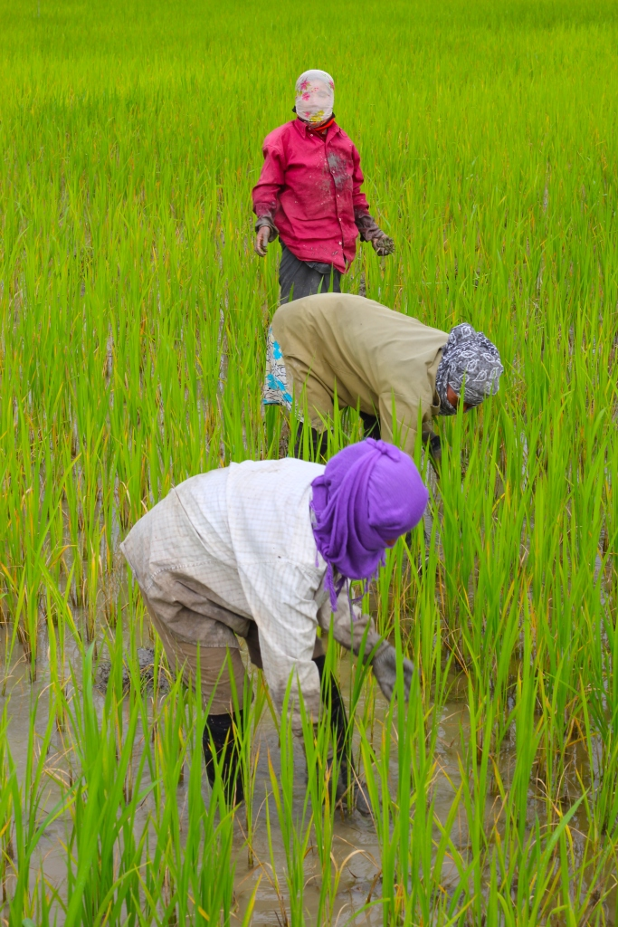 Weeding the rice paddies